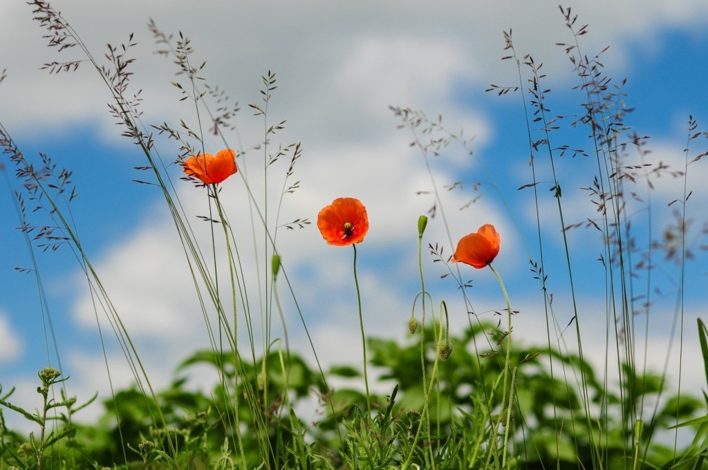 meadow-flower-poppy-wild-poppies