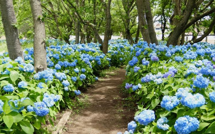 河口湖ハーブフェスティバル あじさい 八木崎公園