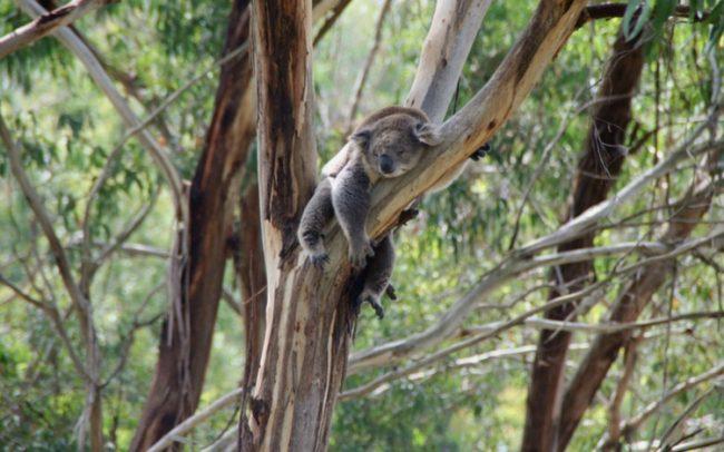 オーストラリア ユーカリ