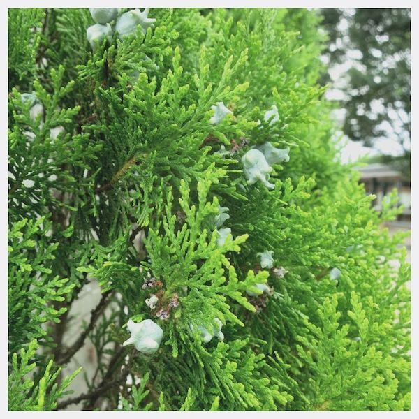 青森ヒバ(アスナロ)精油 ひば油