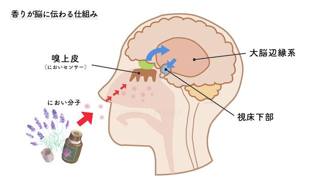 香りが脳に伝わる仕組み